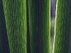 gladiolen